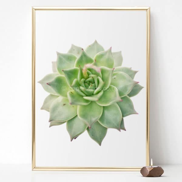 Green echeveria succulent wall art photographic art print gold frame